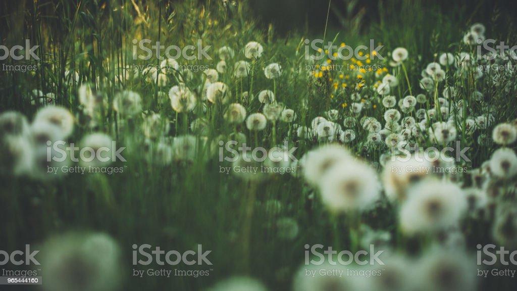 Dandelion in summer on a green meadow zbiór zdjęć royalty-free