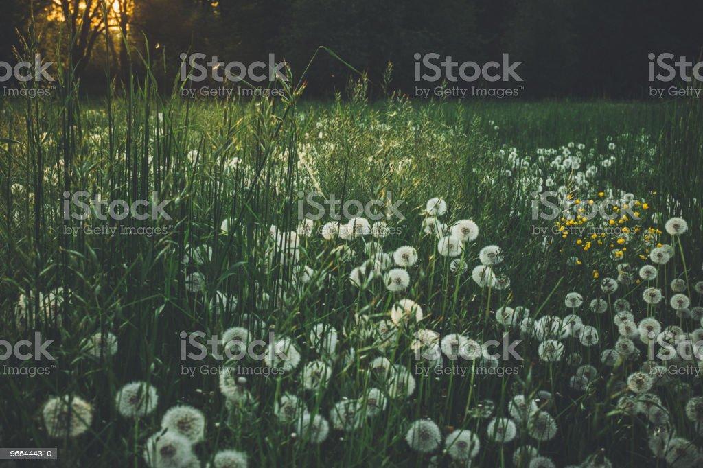 녹색 풀밭에 여름에 민들레 - 로열티 프리 0명 스톡 사진