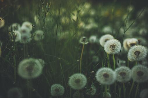 夏天的蒲公英在綠色的草地上 照片檔及更多 全畫面 照片