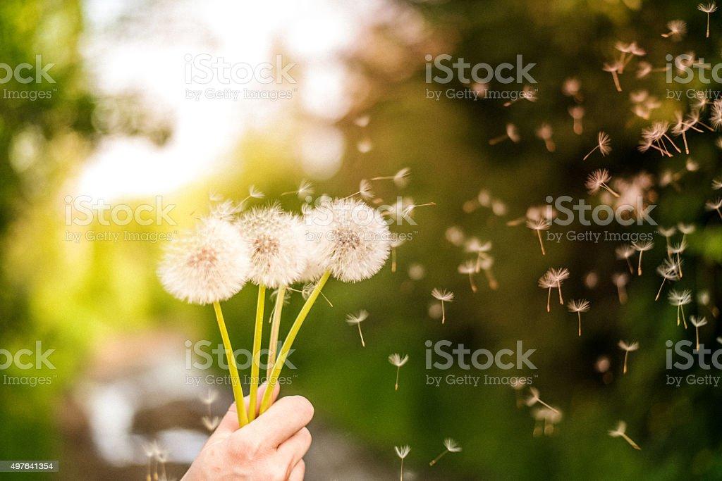 Fleur de pissenlit dans radieux field - Photo