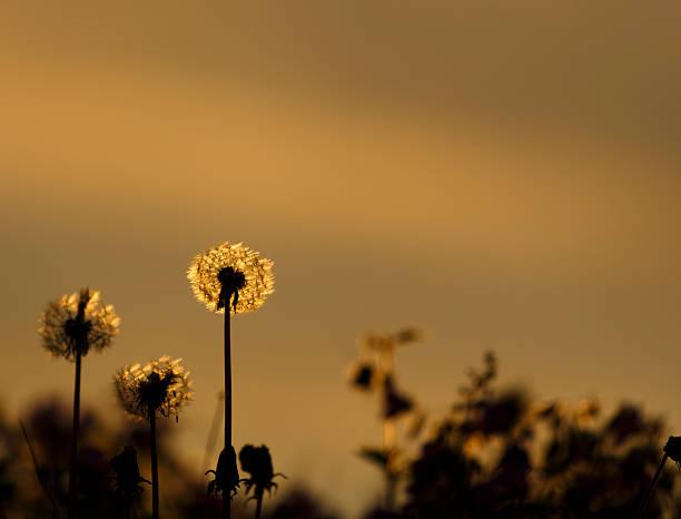Dandelion in sunset light. stock photo