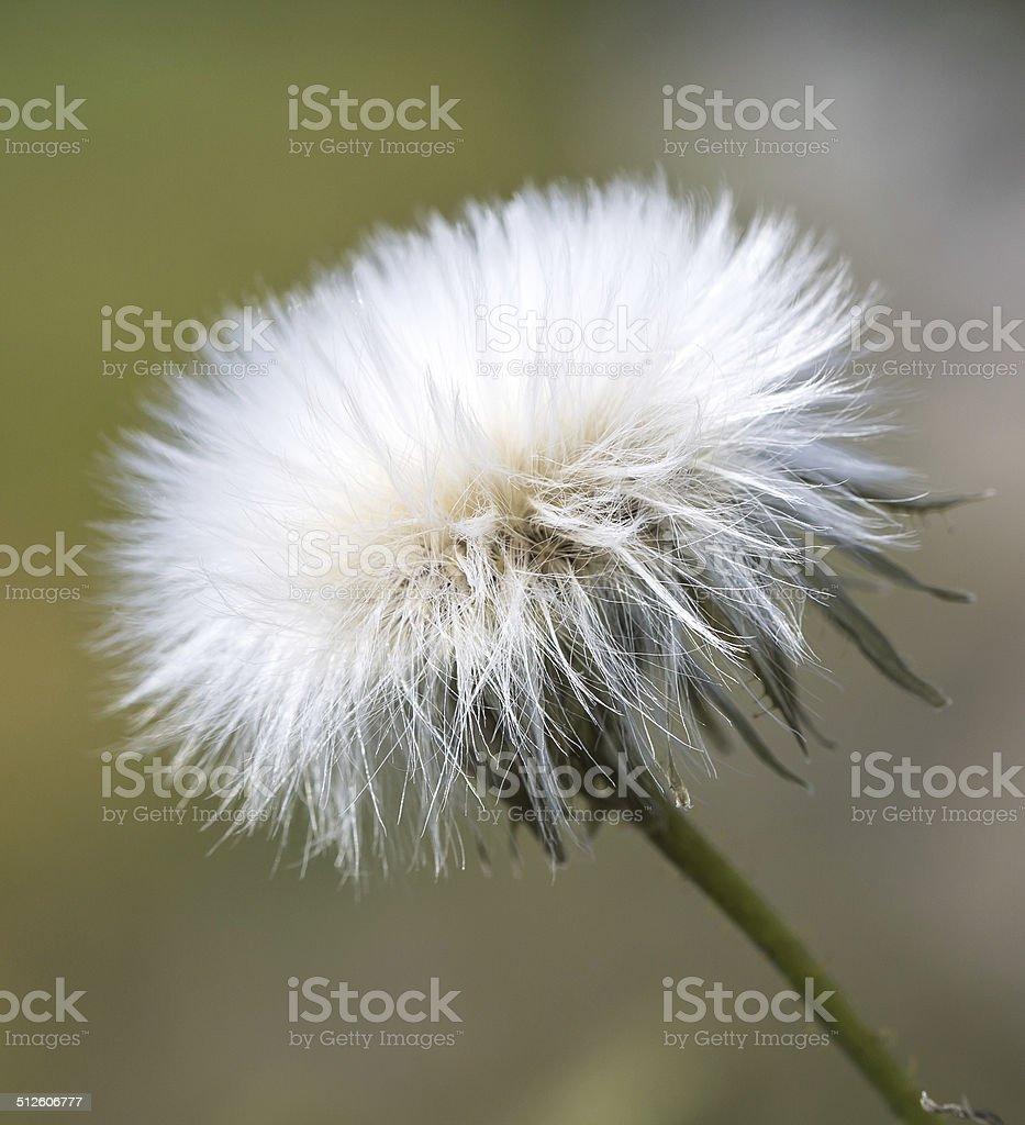 Dandelion in sunshine royaltyfri bildbanksbilder