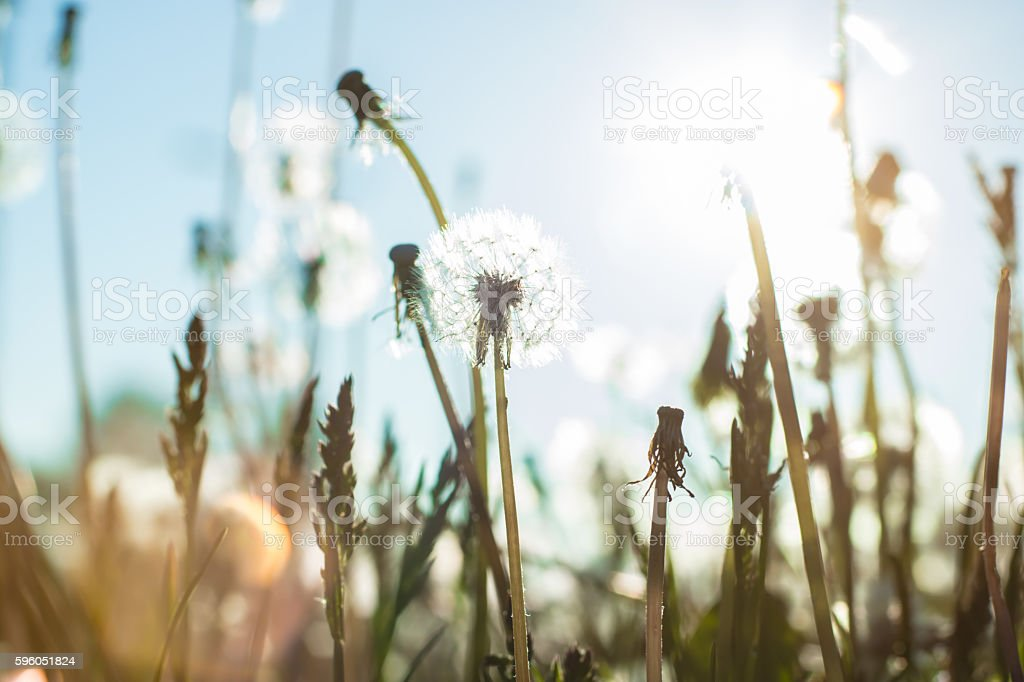 dandelion in the field royalty-free stock photo