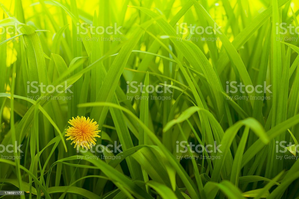 Dandelion in the grass royalty-free stock photo