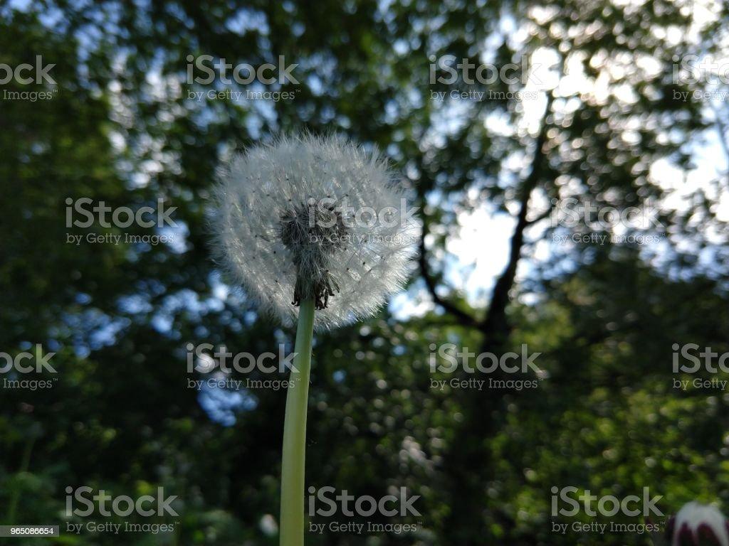 Dandelion in the grass. zbiór zdjęć royalty-free