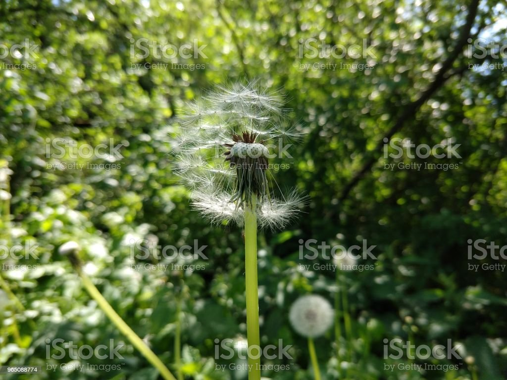 Dandelion in the grass. royalty-free stock photo