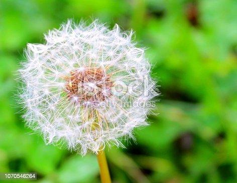 istock Dandelion in the nature 1070546264