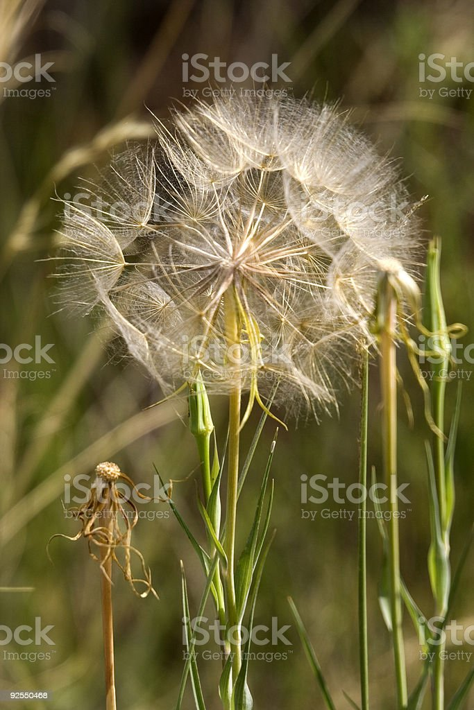 dandelion in the sun royalty-free stock photo