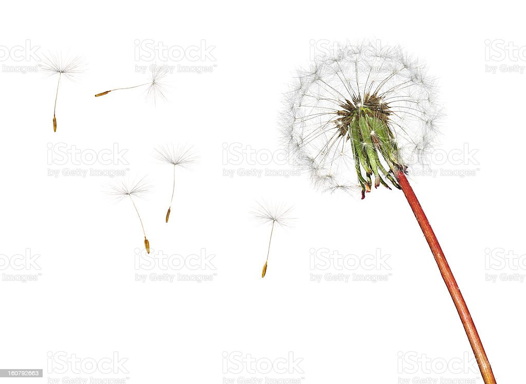 Dandelion in the wind isolated on white stock photo