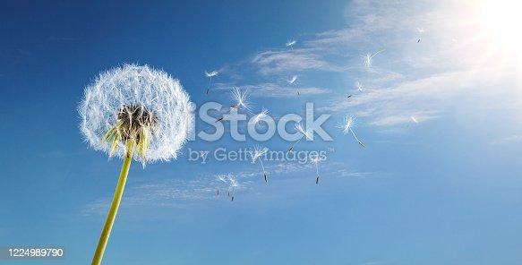istock Dandelion in the wind over blue sky 1224989790