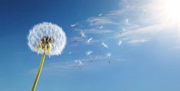 Dandelion in the wind over blue sky stock photo