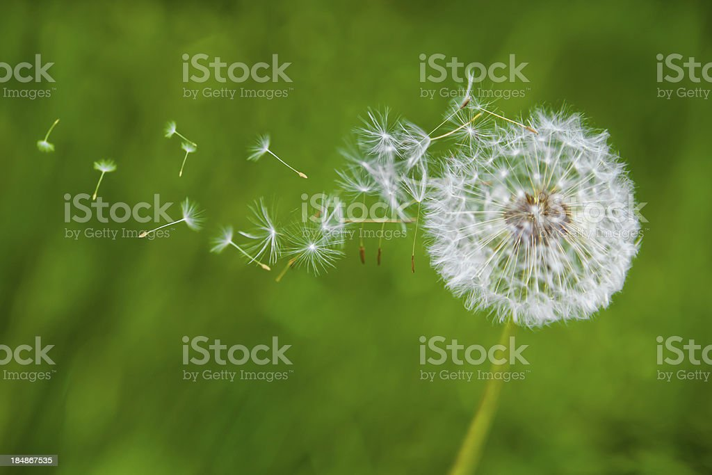 Dandelion in the wind stock photo