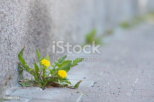 Dandelion in urban environment