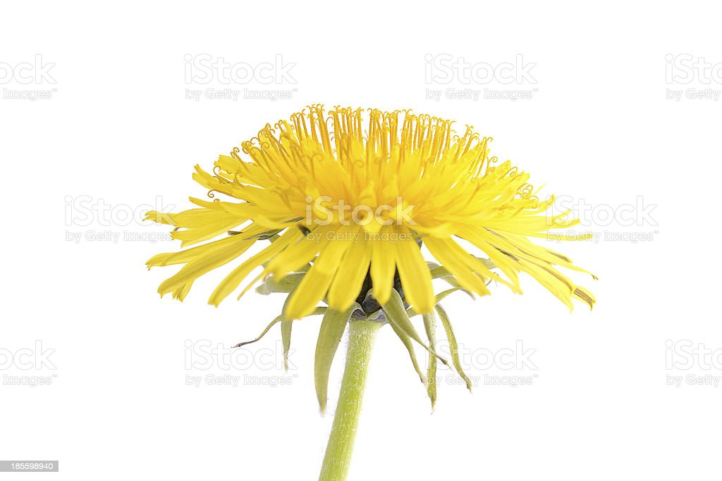 Dandelion isolated on a white background royalty-free stock photo