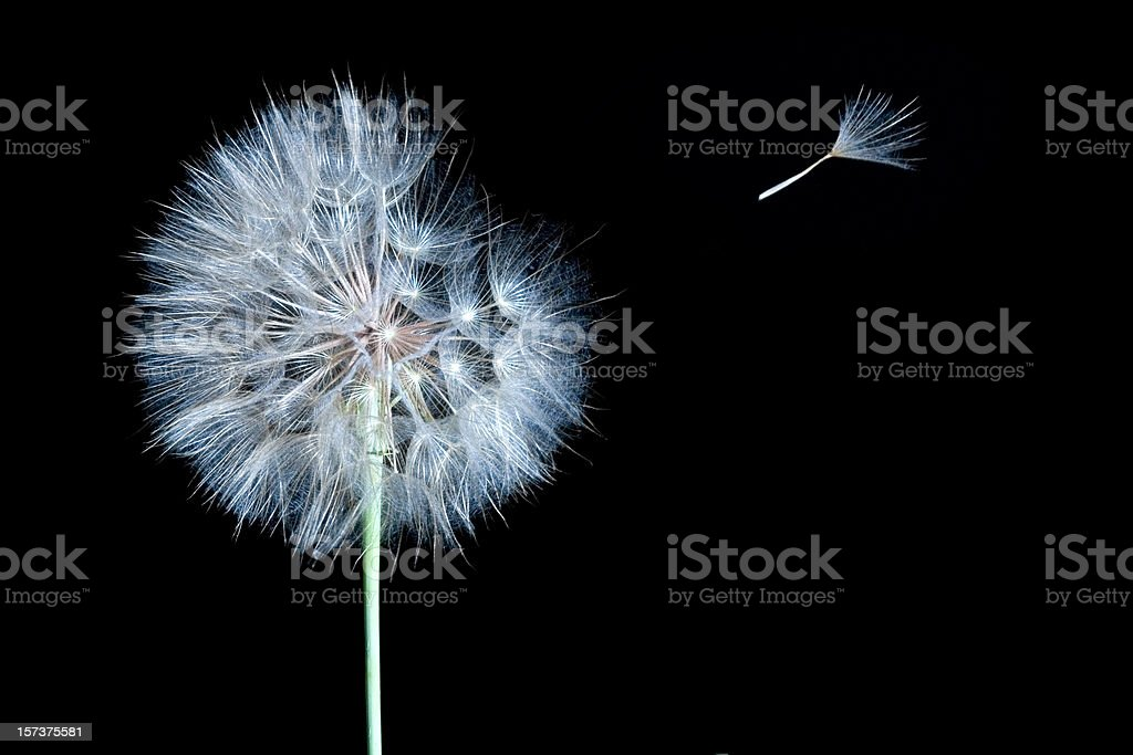 Dandelion Isolated on Black with Wind Blowing One Seed Away royalty-free stock photo