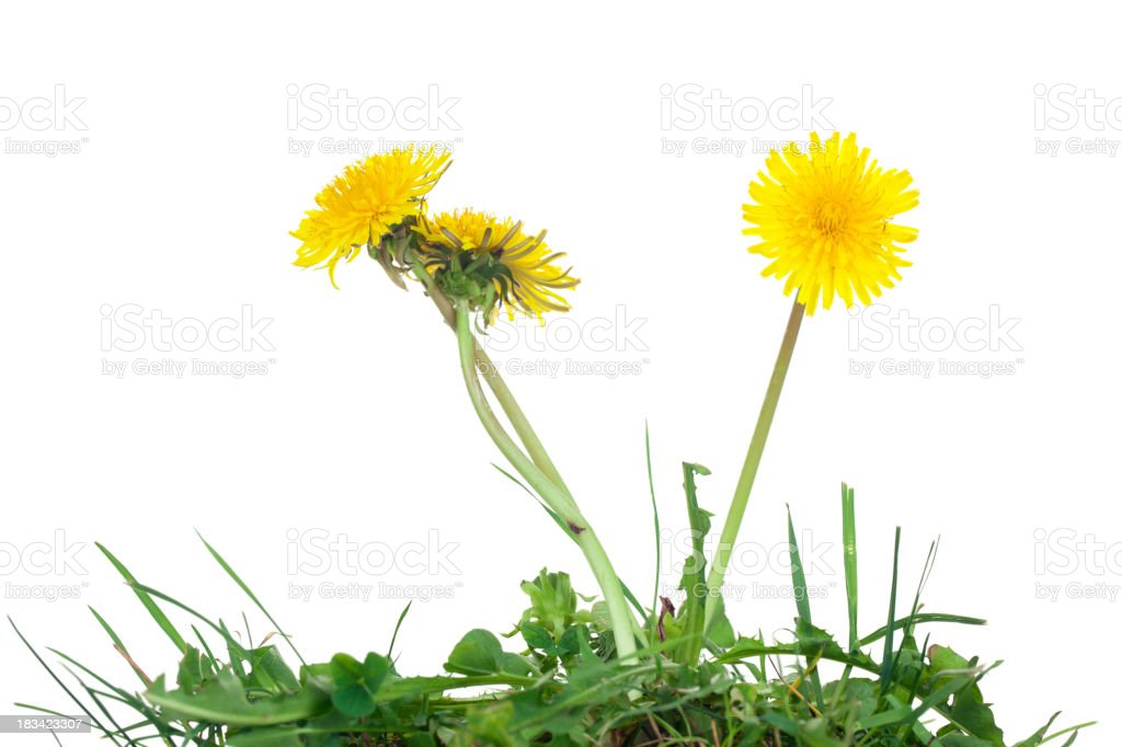 Dandelion Isolated stock photo