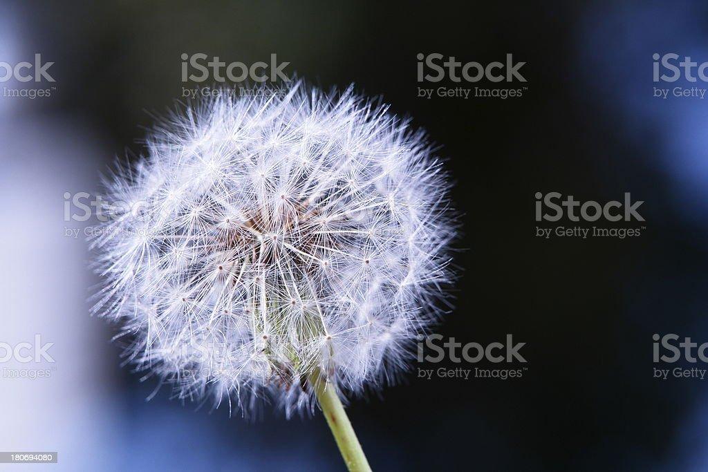 Dandelion Layout Background stock photo