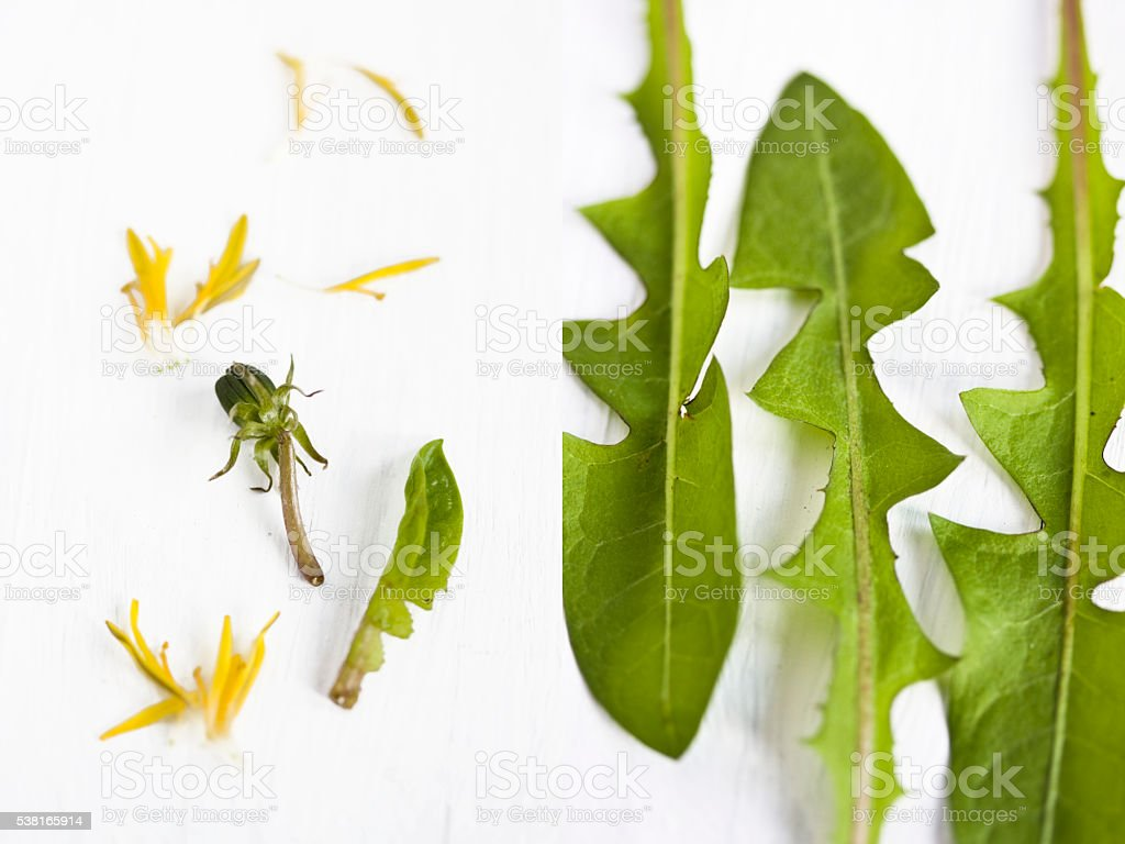 dandelion leaves and flowers Diptych image of dandelion wild plant, weed, and flower bud. Very popular herb, edible wild flower. Salad ingredient. Bud Stock Photo