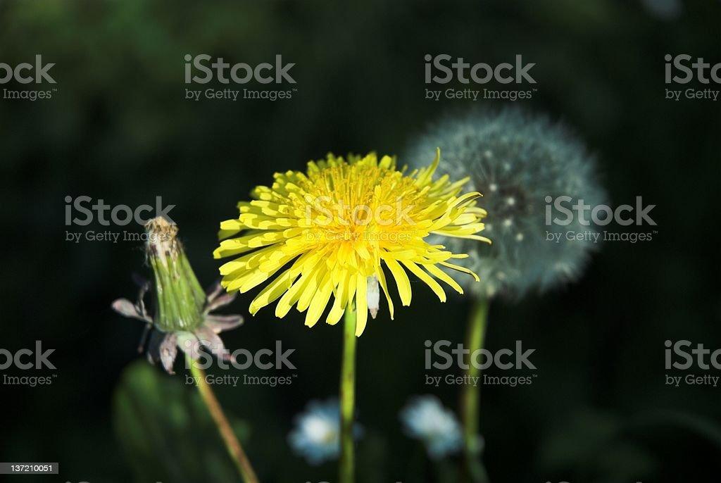 Dandelion life cycle stock photo