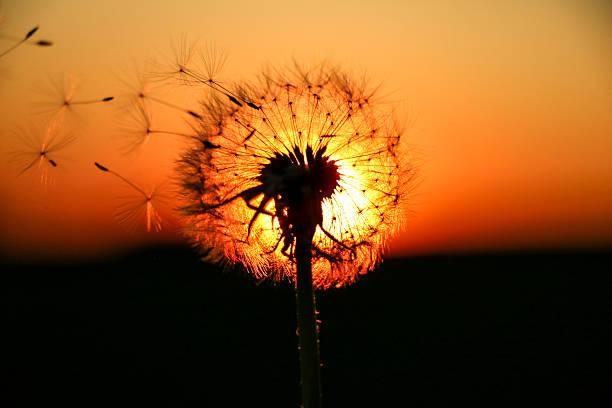 Dandelion lightened by the sunset – Foto