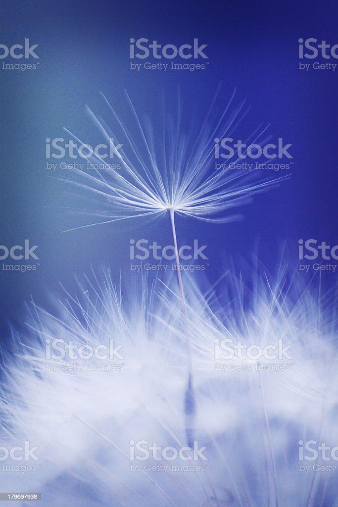 Dandelion macro royalty-free stock photo