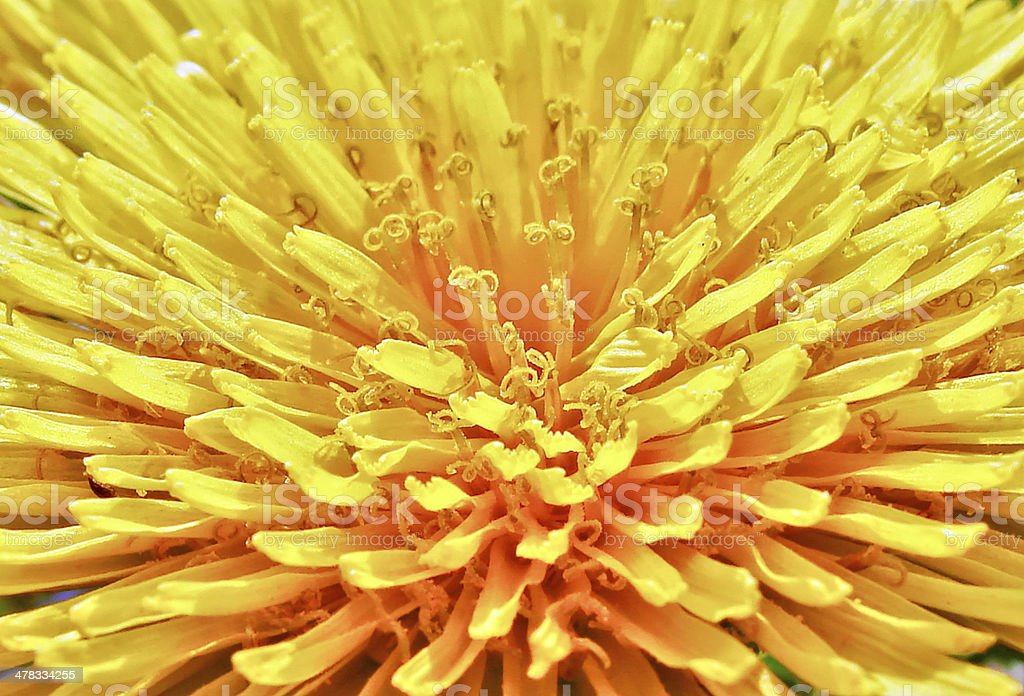 dandelion macro royalty-free stock photo