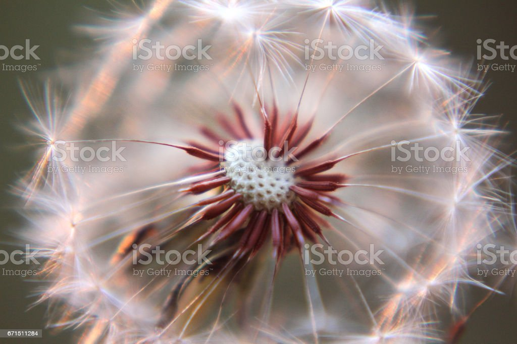 Dandelion macro, warm colors, sunset or sunrise light stock photo