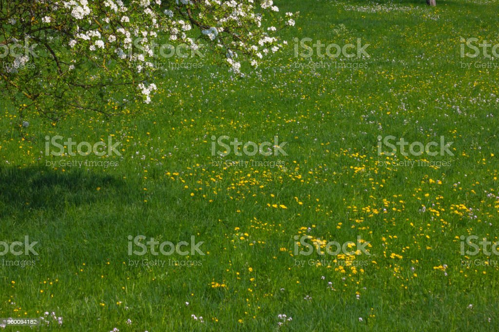 dandelion meadow blossoming stock photo