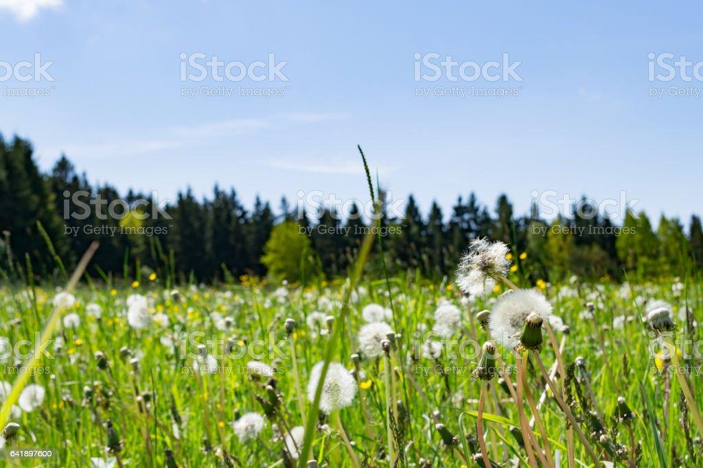 Prairie pissenlit  - Photo