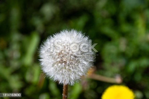 dandelion officinalis of the Aster family on a background of greenery in a meadow on a summer day. close-up