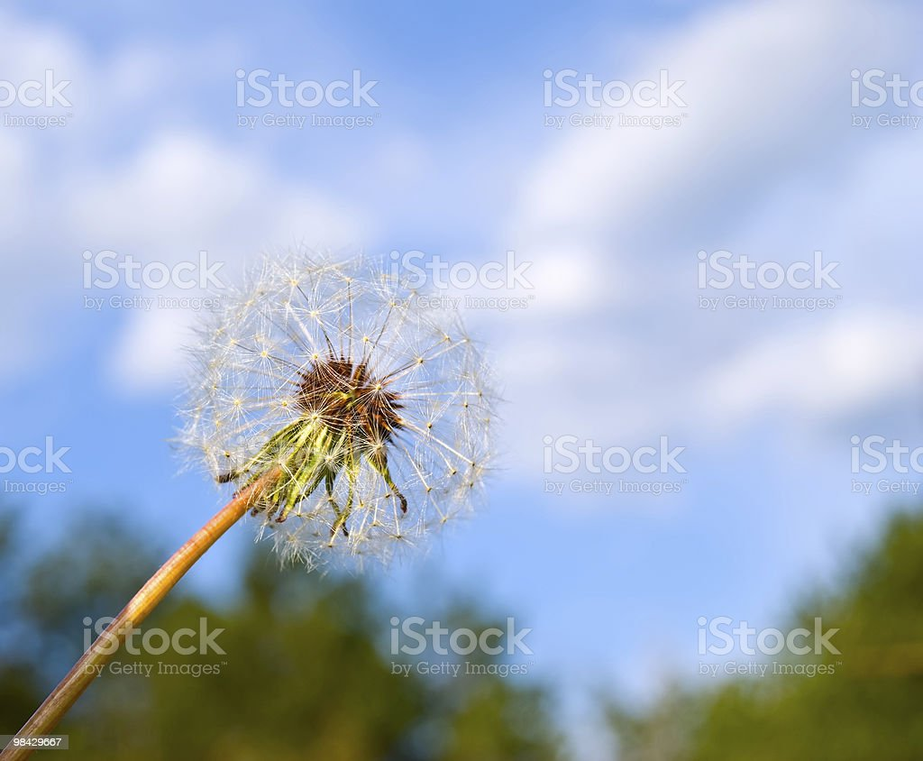 dandelion on a background sky royalty-free stock photo