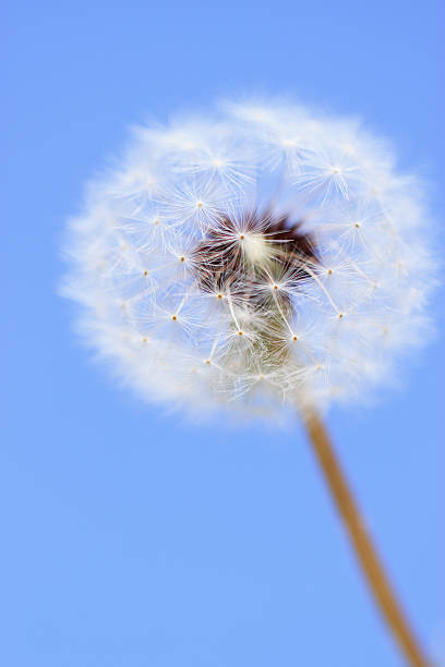 Dandelion on Blue stock photo