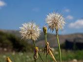 Dandelion on Defocused  Background, Pollen and Allergy Source