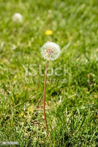 Spring dandelion on green grass background