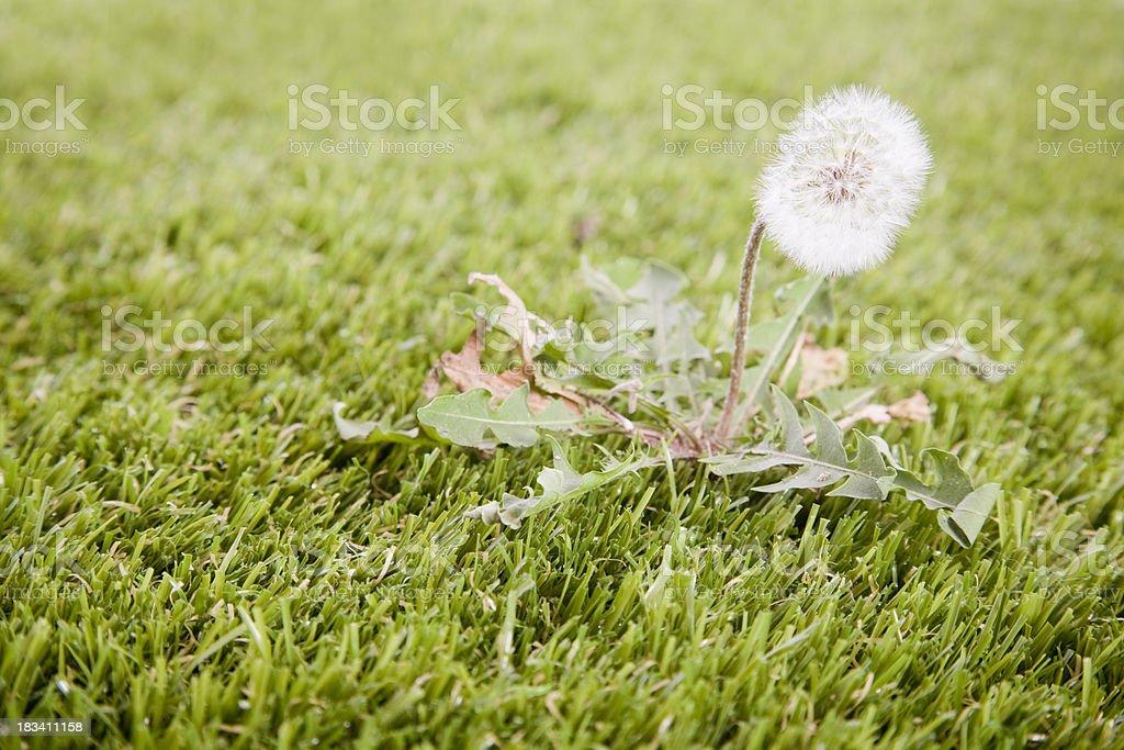 Dandelion on Lawn royalty-free stock photo