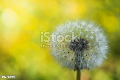 istock Dandelion on the blurry yellow background 952763494