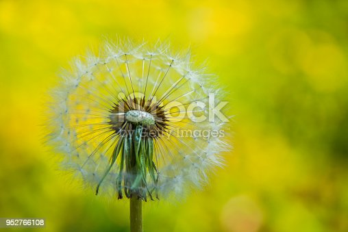 istock Dandelion on the blurry yellow background 952766108