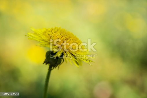 istock Dandelion on the blurry yellow background 952766270