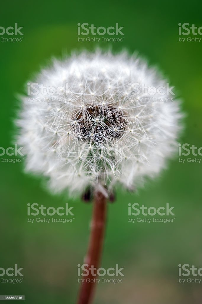 Dandelion on the meadow at greens background stock photo