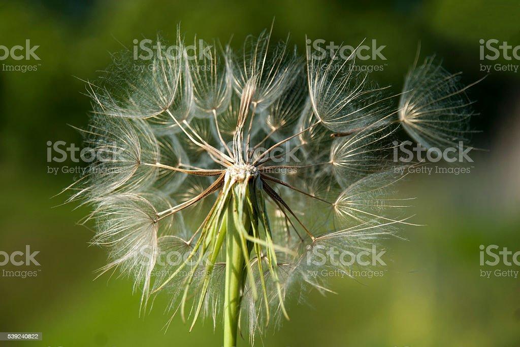 Dandelion on wind royalty-free stock photo