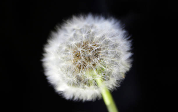 Dandelion over black background stock photo
