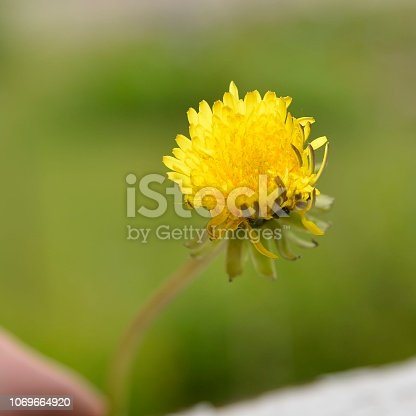 June photo with a dandelion in close-up (Arctic Circle, Sweden)