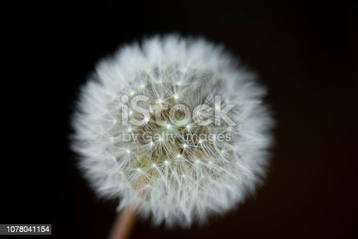 Dandelion, extreme close-up, black background.