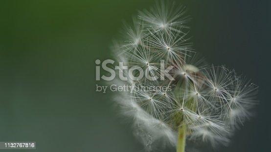 istock Dandelion 1132767816