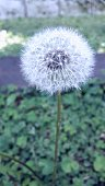 Dandelion park green space life hope plant grass