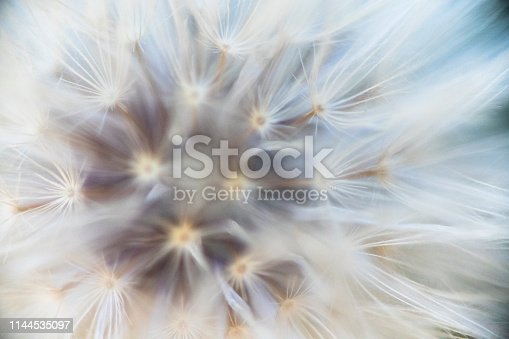 Close up of a fluffy dandelion in seed
