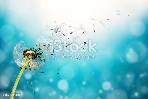Flying dandelion seeds isolated over white