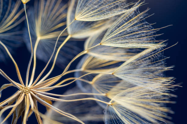 Dandelion Close-up dandelion seeds on black background. macrophotography stock pictures, royalty-free photos & images