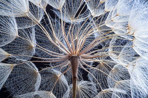 Close-up dandelion seeds on black background.