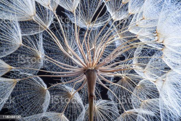 Dandelion picture id1180494132?b=1&k=6&m=1180494132&s=612x612&h=3w8rzuhdfgmchta7rilxkqzqeb4e3er5fqmxz snohy=